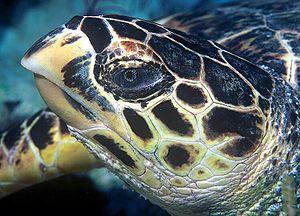 Hawksbill Turtle (details)
