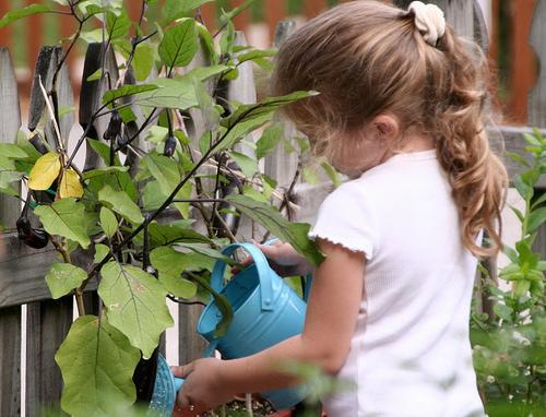 Watering Eggplants